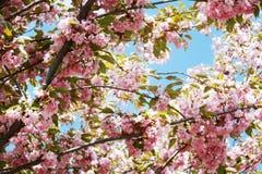 ανθίζοντας ρόδινο δέντρο κερασιών Sakura στοκ εικόνα