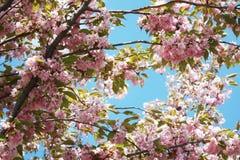 ανθίζοντας ρόδινο δέντρο κερασιών Sakura στοκ φωτογραφία με δικαίωμα ελεύθερης χρήσης