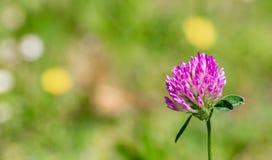 Ανθίζοντας ρόδινο τριφύλλι σε ένα πράσινο λιβάδι μια ηλιόλουστη ημέρα Θολωμένο φύση υπόβαθρο E o r στοκ εικόνα
