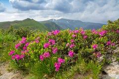 Ανθίζοντας ρόδινο rhododendron στα βουνά, ανθίζοντας κοιλάδα πάνω από την κορυφογραμμή σε Καρπάθιο στοκ φωτογραφίες