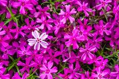 Ανθίζοντας ρόδινα και άσπρα λουλούδια Phlox στοκ φωτογραφίες
