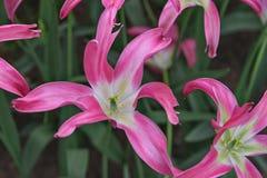 Ανθίζοντας ρόδινες τουλίπες Hollywood στον κήπο Keukenhof άνοιξη λουλουδιών Στοκ Εικόνα