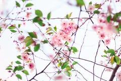 ανθίζοντας ρόδινη άνοιξη λ&omi η ανασκόπηση θόλωσε floral Στοκ Φωτογραφίες