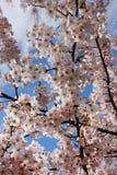 Ανθίζοντας ρόδινο κεράσι της Ιαπωνίας στοκ φωτογραφίες με δικαίωμα ελεύθερης χρήσης