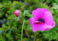 Ανθίζοντας ρόδινο anemon Στοκ Φωτογραφίες