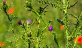 Ανθίζοντας σγουρό plumeless φυτό κάρδων από τον περίβολο Στοκ Φωτογραφία