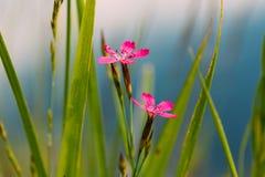 Ανθίζοντας στα πράσινα γαρίφαλα λιβαδιών Wildflowers χλόης, Dianthus στοκ εικόνα