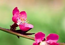 ανθίζοντας στενό ροδάκινο λουλουδιών επάνω Στοκ εικόνες με δικαίωμα ελεύθερης χρήσης