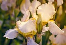 Ανθίζοντας στον κήπο, χλωμιάστε - κίτρινες ίριδες Στοκ φωτογραφία με δικαίωμα ελεύθερης χρήσης