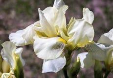 Ανθίζοντας στον κήπο, χλωμιάστε - κίτρινες ίριδες Στοκ Φωτογραφίες