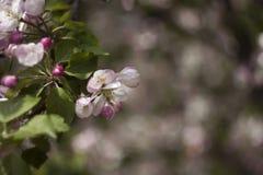 Ανθίζοντας τα δέντρα της Apple την άνοιξη, μικρά άσπρος-ρόδινα λουλούδια στο tre Στοκ Εικόνες