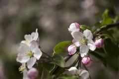Ανθίζοντας τα δέντρα της Apple την άνοιξη, μικρά άσπρος-ρόδινα λουλούδια στο tre Στοκ Φωτογραφίες