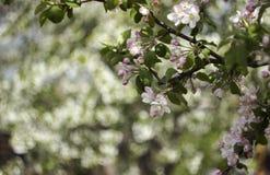 Ανθίζοντας τα δέντρα της Apple την άνοιξη, μικρά άσπρος-ρόδινα λουλούδια στο tre Στοκ εικόνα με δικαίωμα ελεύθερης χρήσης