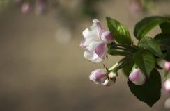 Ανθίζοντας τα δέντρα της Apple την άνοιξη, μικρά άσπρος-ρόδινα λουλούδια στο tre Στοκ Φωτογραφία