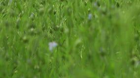 Ανθίζοντας τομέας λιναριού της άνθισης λιναριού φιλμ μικρού μήκους