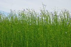 Ανθίζοντας τομέας λιναριού στοκ φωτογραφία με δικαίωμα ελεύθερης χρήσης