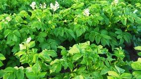 Ανθίζοντας τομέας πατατών Βλαστός γερανών απόθεμα βίντεο