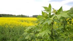 Ανθίζοντας τομέας συναπόσπορων των κίτρινων λουλουδιών, ο Μπους συναπόσπορων στη φύση ενάντια στον ουρανό, διάστημα αντιγράφων, b απόθεμα βίντεο