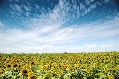 ανθίζοντας τομέας των ηλίανθων κάτω από το μπλε ουρανό στοκ εικόνα