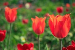 Ανθίζοντας τουλίπες στον κήπο Στοκ εικόνες με δικαίωμα ελεύθερης χρήσης