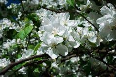 Ανθίζοντας το δέντρο της Apple ενάντια την άνοιξη, φωτογραφία Στοκ Εικόνες