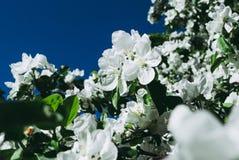 Ανθίζοντας το δέντρο της Apple ενάντια την άνοιξη, Στοκ φωτογραφίες με δικαίωμα ελεύθερης χρήσης