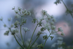 Ανθίζοντας το κυμινοειδές κάρο, carvi Carum Στοκ φωτογραφίες με δικαίωμα ελεύθερης χρήσης