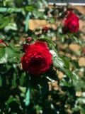 Ανθίζοντας τριαντάφυλλα στον κήπο Στοκ Φωτογραφίες