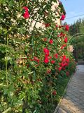 Ανθίζοντας τριαντάφυλλα στον κήπο Στοκ φωτογραφίες με δικαίωμα ελεύθερης χρήσης