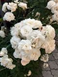 Ανθίζοντας τριαντάφυλλα στον κήπο Στοκ Εικόνες