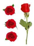 ανθίζοντας τριαντάφυλλα Στοκ εικόνες με δικαίωμα ελεύθερης χρήσης