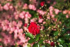 ανθίζοντας τριαντάφυλλα Στοκ Φωτογραφία
