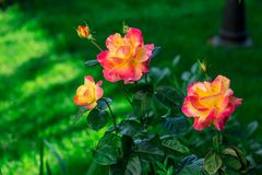 Ανθίζοντας τριαντάφυλλα Express Orient Pullman στον κήπο Στοκ φωτογραφίες με δικαίωμα ελεύθερης χρήσης