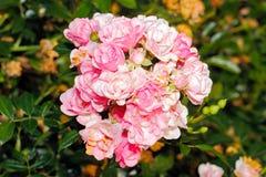 ανθίζοντας τριαντάφυλλα Στοκ Φωτογραφίες