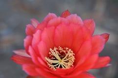 Ανθίζοντας τροπικό λουλούδι Καλιφόρνιας Στοκ εικόνα με δικαίωμα ελεύθερης χρήσης