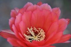 Ανθίζοντας τροπικό λουλούδι Καλιφόρνιας Στοκ Εικόνα