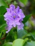 Ανθίζοντας υάκινθος νερού λουλουδιών Στοκ φωτογραφία με δικαίωμα ελεύθερης χρήσης