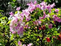 Ανθίζοντας υπόβαθρο λουλουδιών bougainvillea floral Στοκ Φωτογραφία