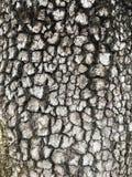 Ανθίζοντας φλοιός Dogwood Στοκ Εικόνες