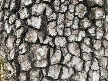 Ανθίζοντας φλοιός Dogwood Στοκ Φωτογραφία
