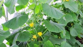 Ανθίζοντας φυτά των αγγουριών απόθεμα βίντεο
