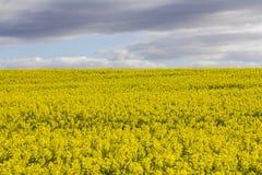 Ανθίζοντας φυτά canola στοκ εικόνα με δικαίωμα ελεύθερης χρήσης