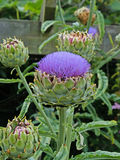 Ανθίζοντας φυτό αγκιναρών σφαιρών - scolymus Cynara Στοκ φωτογραφίες με δικαίωμα ελεύθερης χρήσης