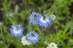 Ανθίζοντας φυτό αρχών του καλοκαιριού damascena Nigella με τις διαφορετικές σκιές των μπλε λουλουδιών στο μικρό πράσινο θάμνο, δι Στοκ φωτογραφίες με δικαίωμα ελεύθερης χρήσης