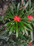 Ανθίζοντας φυτό φυλλώματος της Φλώριδας Στοκ Εικόνες