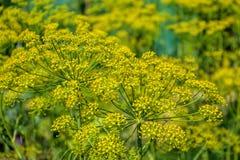 Ανθίζοντας φυτό χορταριών άνηθου στον κήπο (Anethum graveolens) Κλείστε επάνω των λουλουδιών μαράθου Στοκ Εικόνα