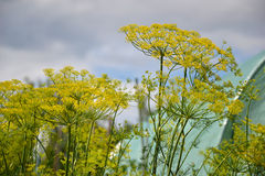 Ανθίζοντας φυτό χορταριών άνηθου στον κήπο (Anethum graveolens) Κλείστε επάνω των λουλουδιών μαράθου Στοκ εικόνα με δικαίωμα ελεύθερης χρήσης
