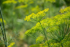 Ανθίζοντας φυτό χορταριών άνηθου στον κήπο Anethum graveolens Κλείστε επάνω των λουλουδιών μαράθου Στοκ Φωτογραφία