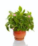 ανθίζοντας φυτό Στοκ Εικόνα