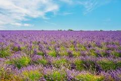 Ανθίζοντας φωτεινό πορφυρό Lavender ανθίζει τον τομέα μέσα Στοκ εικόνες με δικαίωμα ελεύθερης χρήσης